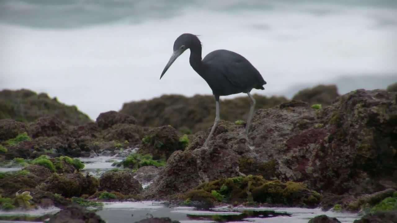 Garza azul | Aves de Chile